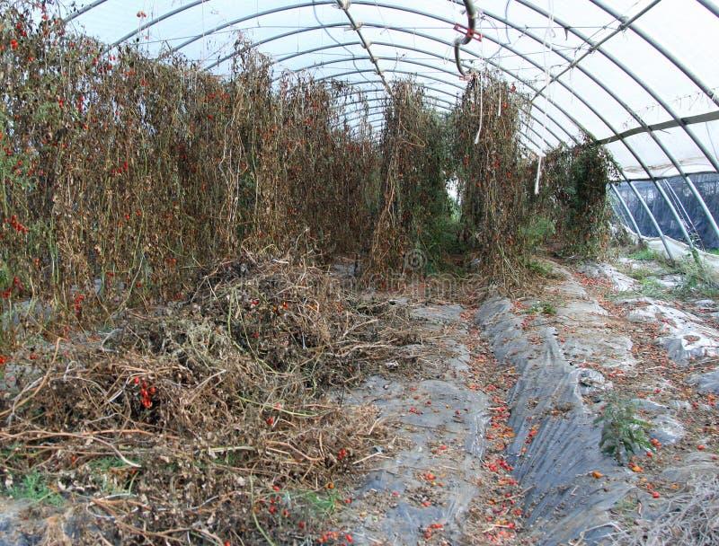 Drivhus med torkade tomatväxter tack vare den höga torkan fotografering för bildbyråer