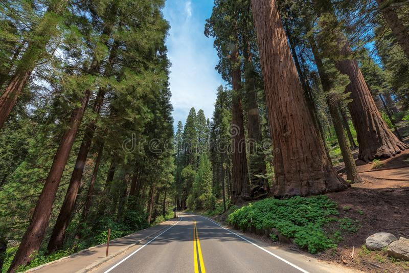 Driving through Avenue of the giants sequoia in Sequoia National Park, California, USA. royalty free stock images