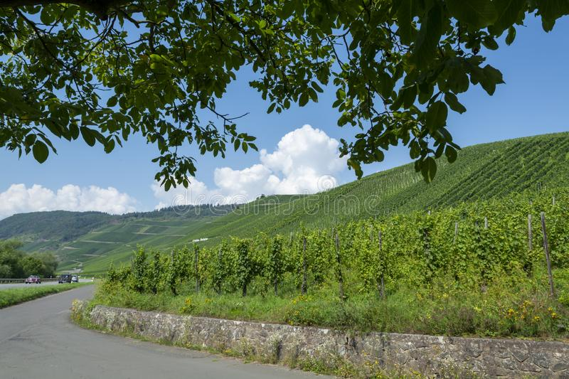 Driving car on famous green terraced vineyards in Mosel river valley, Germany, production of quality white and red wine, riesling. Driving car on famous green royalty free stock photos
