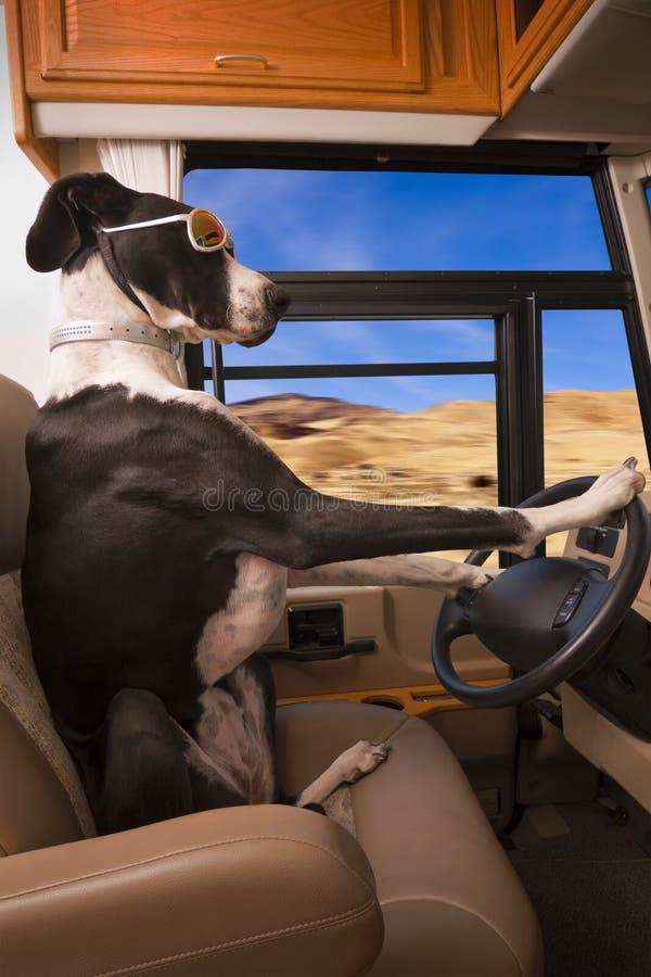 Driving Great Dane Dog stock photos