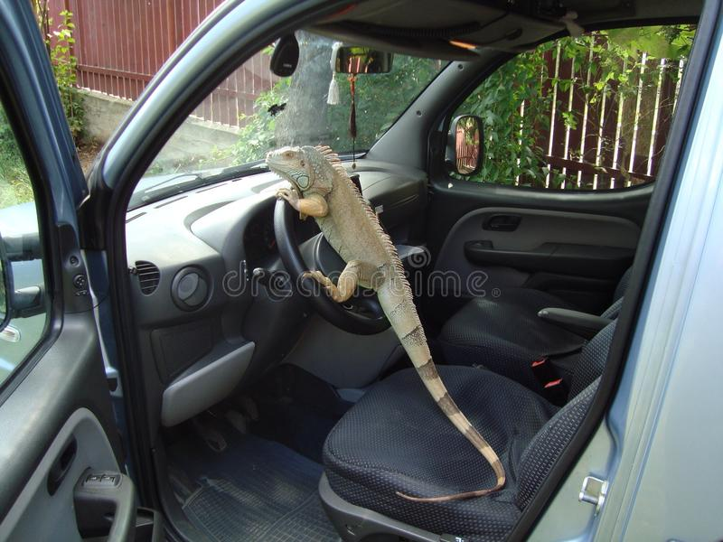 Driving iguana stock images