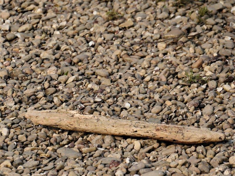 Drivved strandad filial av ett träd på en strand av kiselstenar Trät har antagligen varit i vattnet för ett tag, luddig bakgrund royaltyfria bilder