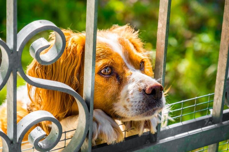 Droevig de hondgezicht van Epagneul Bretons Bretagne opgesloten achter poort stock afbeeldingen
