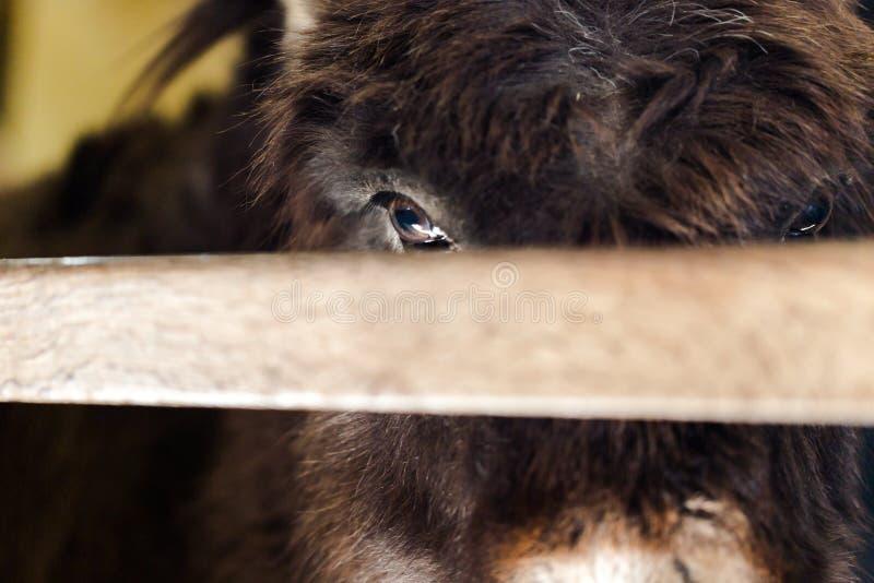 Droevig gezicht van een ezel die van achter de omheining gluren royalty-vrije stock fotografie
