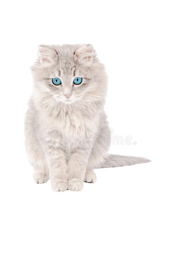 Droevig grijs katje stock afbeeldingen