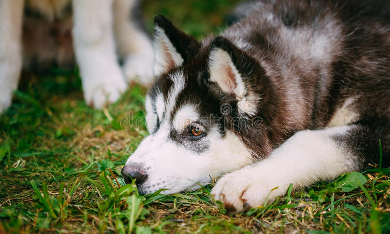 Droevig Jong Husky Puppy Eskimo Dog stock foto's