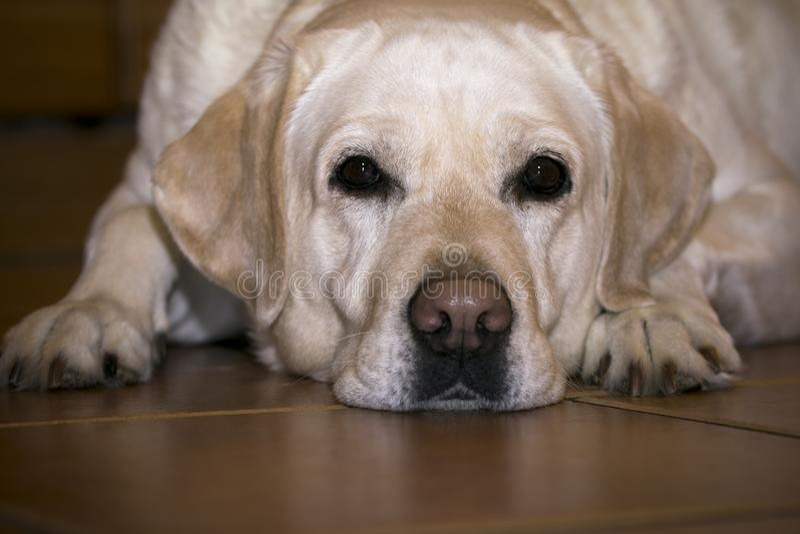 Droevig Labrador in verwachting van de eigenaar stock afbeeldingen