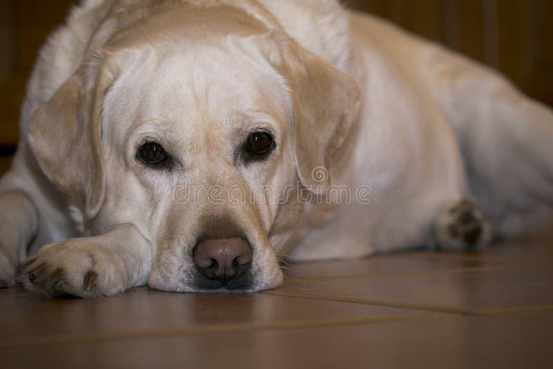 Droevig Labrador in verwachting van de eigenaar royalty-vrije stock afbeeldingen