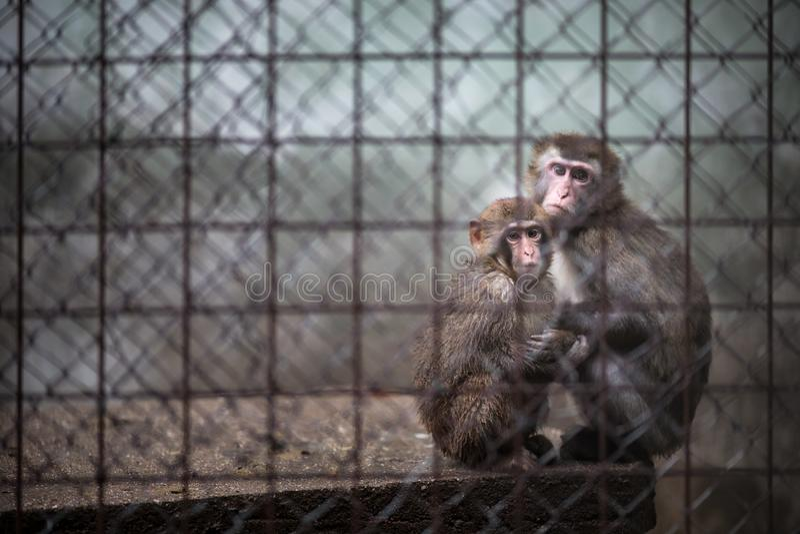 Droevige apen achter de tralies stock foto's