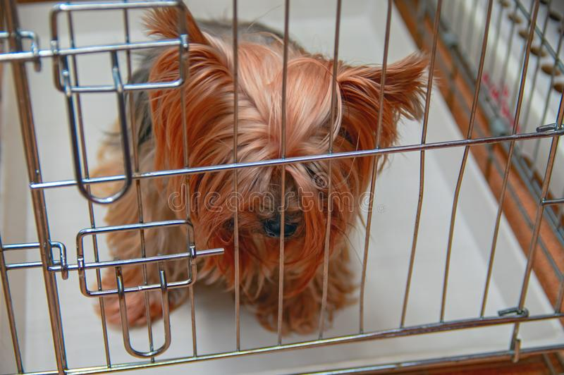 Droevige de terriërzitting van Yorkshire in een kooi met gebogen hoofd Concept huisdiereneenzaamheid, verlaten hond, wachten en h royalty-vrije stock fotografie