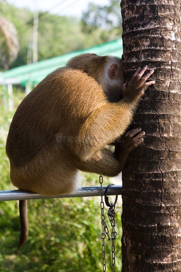 Droevige die aap aan een pijp wordt geketend royalty-vrije stock afbeelding