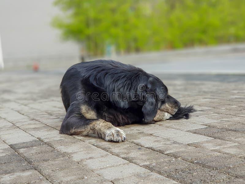 Droevige en oude dakloze hongerige zwarte hondslaap in de stadsvoorsteden stock foto's