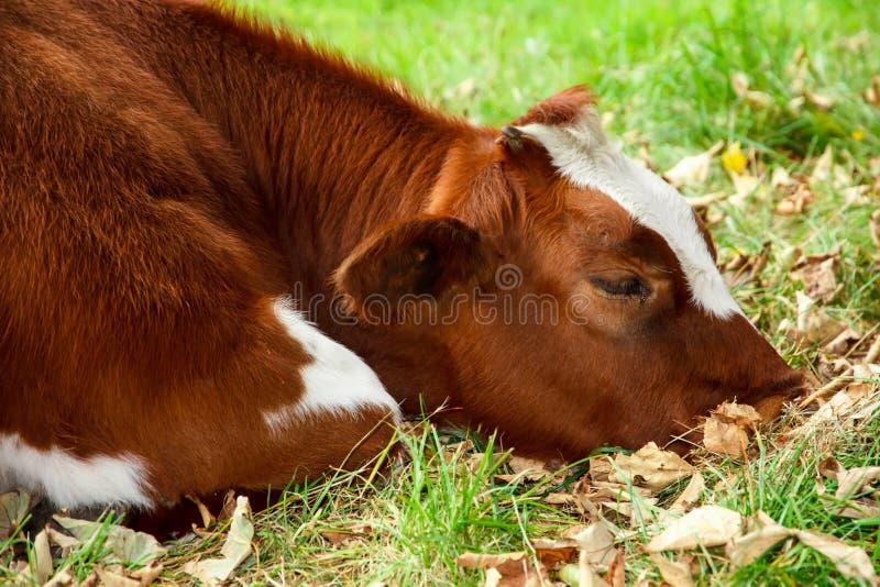 Droevige en zieke koe stock afbeelding