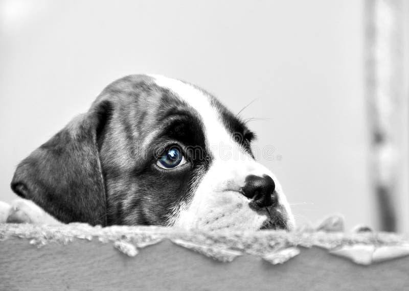 Droevige gezichtsogen weinig hond die van het bokserpuppy voor nieuw voor altijd huis hopen worden gekozen stock foto