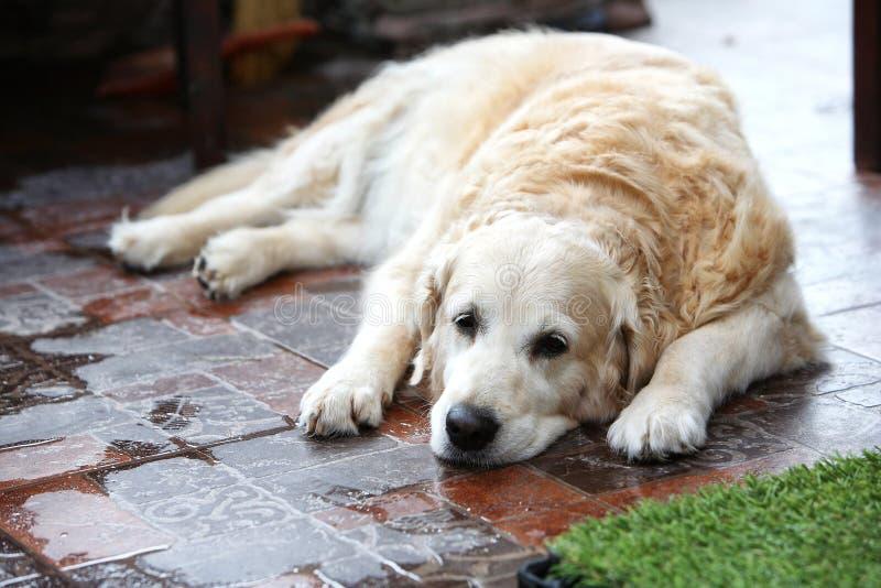 droevige grote hond stock afbeeldingen