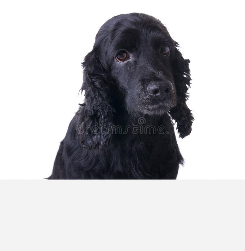 Droevige hond boven banner stock foto's