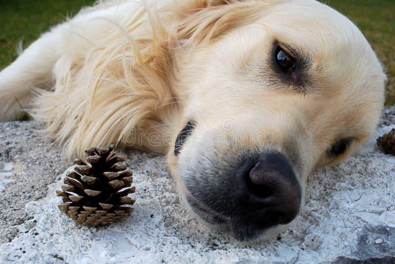 Droevige hond en pinecone royalty-vrije stock fotografie