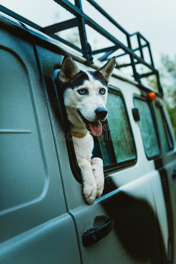 Droevige hond Schor blikken uit het venster terwijl het zitten in de auto royalty-vrije stock foto's