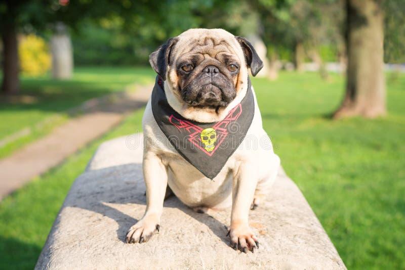 Droevige hondpug zit op een rots in een piraatbandana in een park op een achtergrond van groene bomen stock afbeeldingen