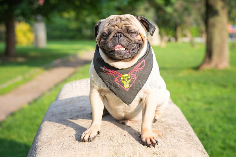 Droevige hondpug zit op een rots in een piraatbandana in een park op een achtergrond van groene bomen royalty-vrije stock afbeelding