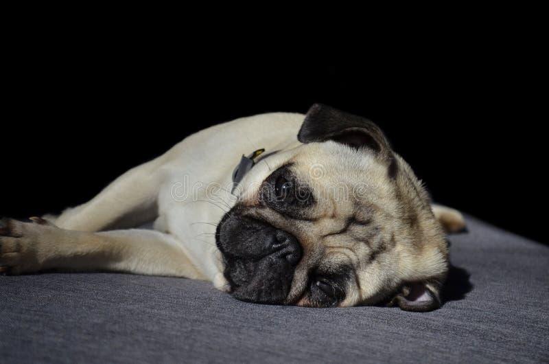 Droevige leuke kleine pug die van het hondras aan slaap proberen legt op een bank stock afbeelding