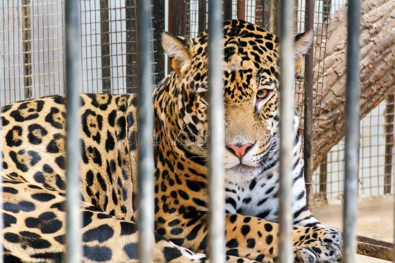Droevige luipaard in dierentuinkooi royalty-vrije stock foto