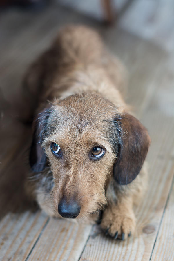 Droevige ogen op een leuke hond stock fotografie