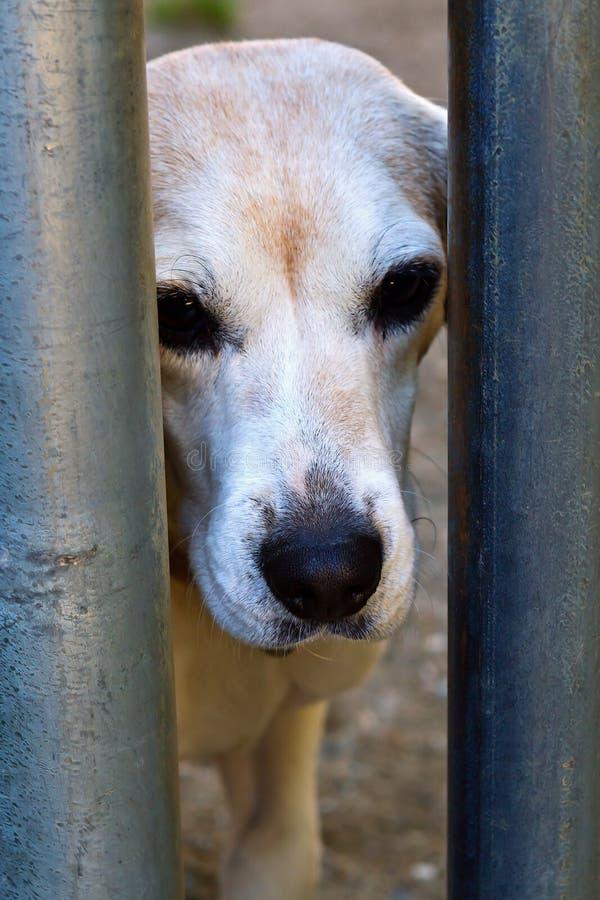 Droevige oude hond in schuilplaats stock afbeelding