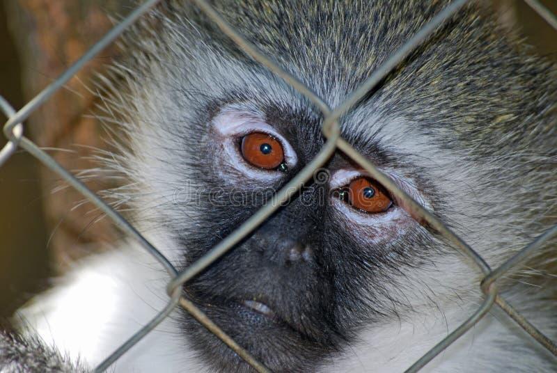 Droevige Primaat stock foto