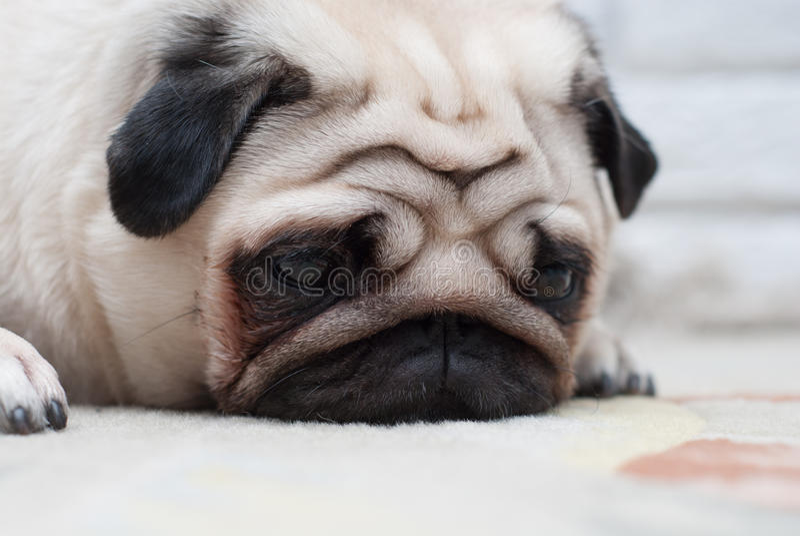 Droevige Pug Droevig gezicht stock foto