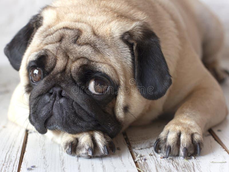 Droevige pug hond met grote ogen die op houten vloer liggen stock afbeeldingen