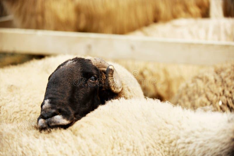 Droevige schapen in een landbouwbedrijf stock foto's