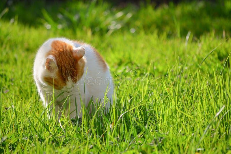 Droevige witte en gele volwassen binnenlandse kattenzitting in gras in de tuin royalty-vrije stock afbeeldingen