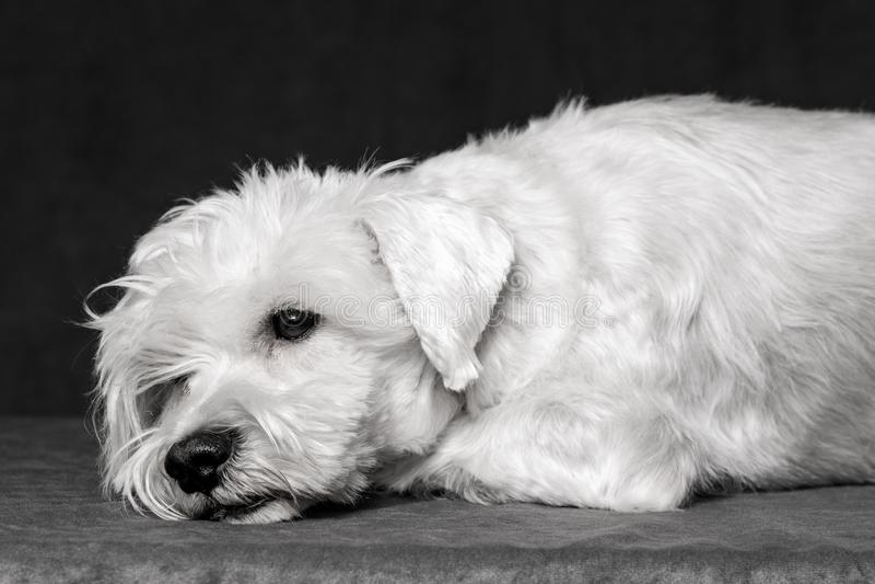 Droevige witte schnauzer royalty-vrije stock foto