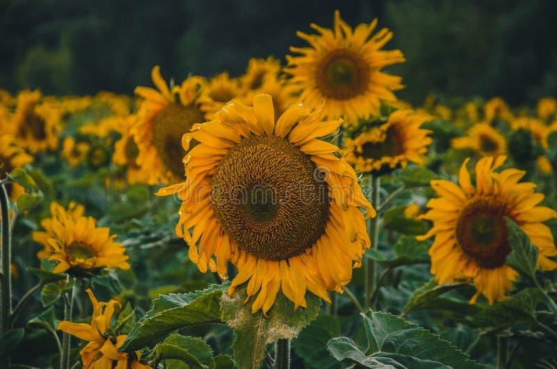Droevige zonnebloemen royalty-vrije stock foto's