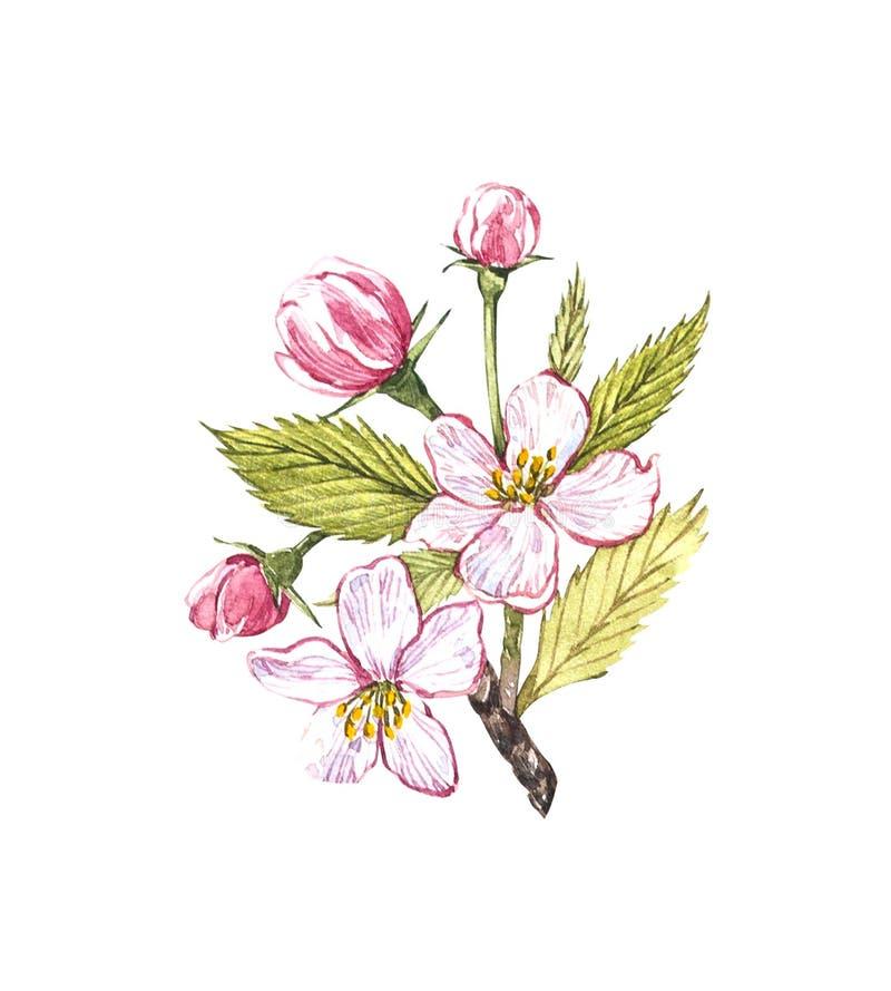 Drog äppleblommor för vattenfärg hand Illustration för Eco naturlig matfrukt Botanisk illustration som isoleras på vit royaltyfri illustrationer
