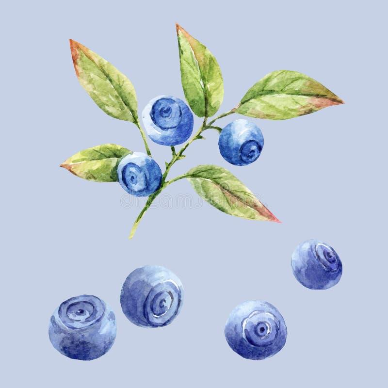 Drog blåbär för vattenfärg hand royaltyfri illustrationer