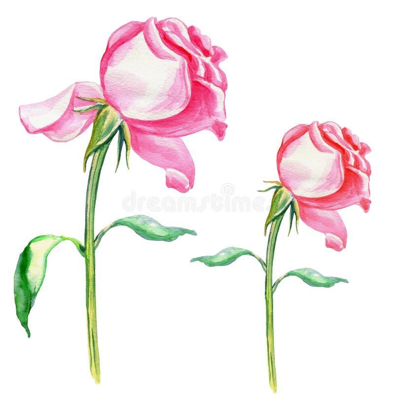 Drog botaniska illustrationen för blommavattenfärgen som steg handen isolerades på vit bakgrund för designmodellen, packe stock illustrationer