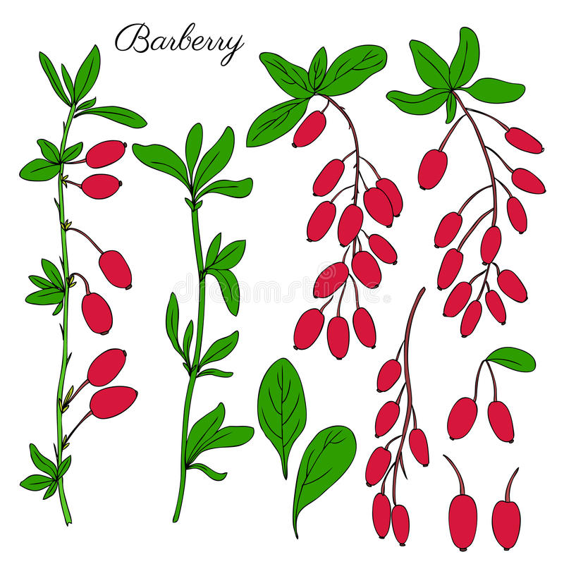 Drog filialen för barberryen skissar handen isolerat på vit bakgrund, det färgrika bäret, naturliga kryddiga örter, grafisk klott royaltyfri illustrationer