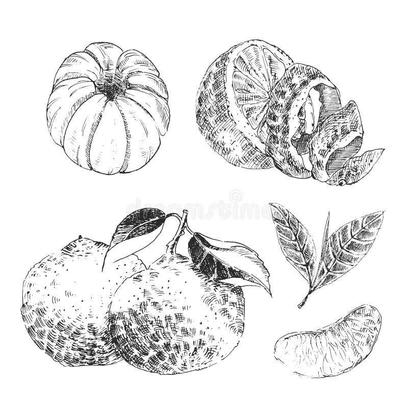 Drog samlingen för tappningfärgpulver skissar handen av citrusfrukter - citronen, tangerin, apelsin vektor illustrationer