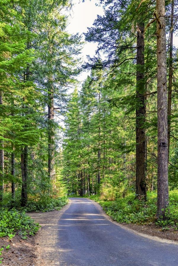 Droga gruntowa wędruje przez wyniosłego sosnowego lasu obrazy royalty free