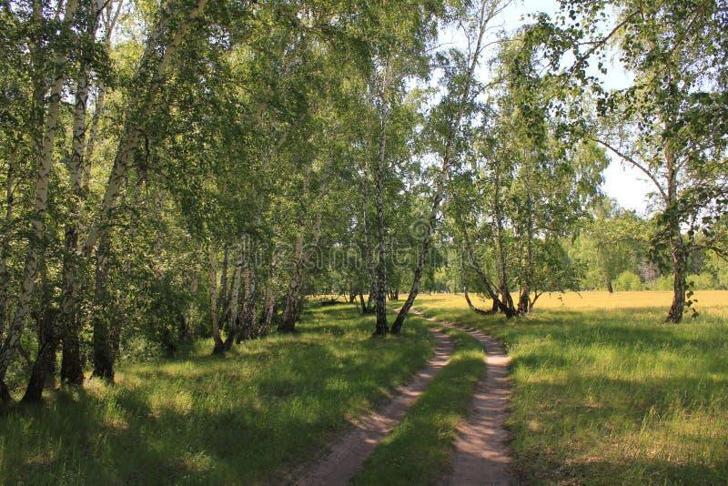 Droga gruntowa w brzoza lesie zdjęcie royalty free