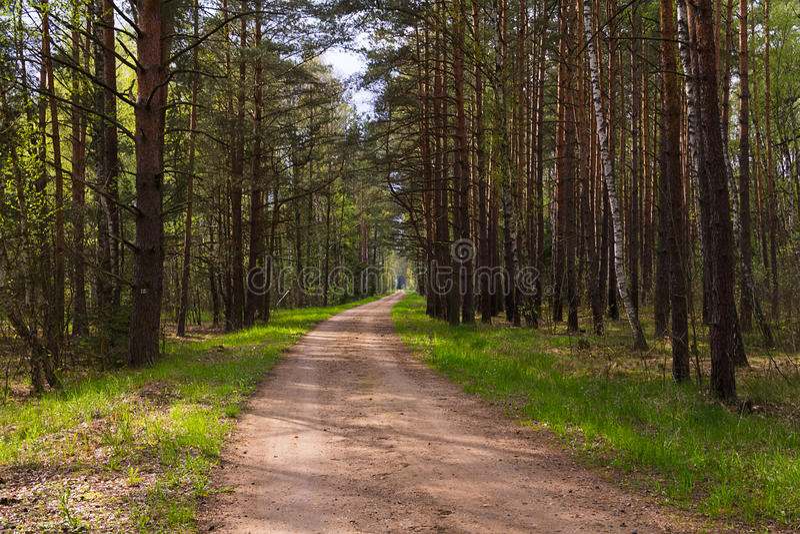 Droga gruntowa w sosnowym lesie opuszcza w odległości z zieloną trawą wzdłuż pobocza zdjęcia royalty free