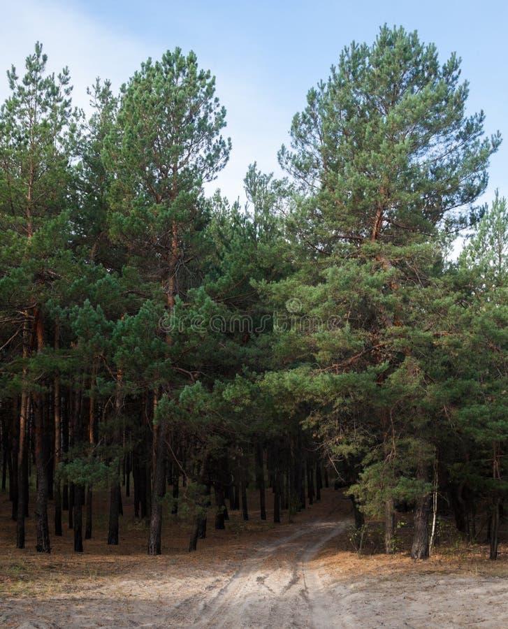 Droga gruntowa w sosnowym lesie fotografia royalty free