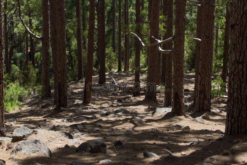 Droga gruntowa w sosnowym lesie, Tenerife, Pinolere, wyspa kanaryjska Pinus Canariensis zdjęcie stock