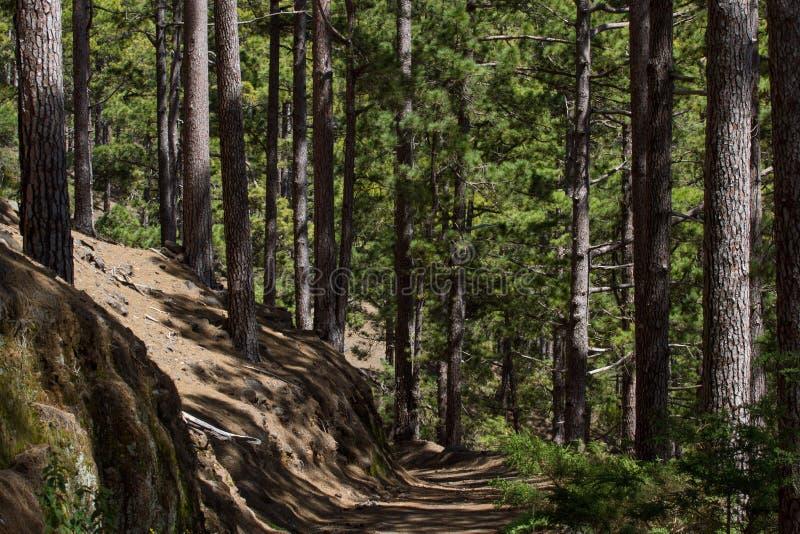 Droga gruntowa w sosnowym lesie, Tenerife, Pinolere, wyspa kanaryjska Pinus Canariensis obraz stock