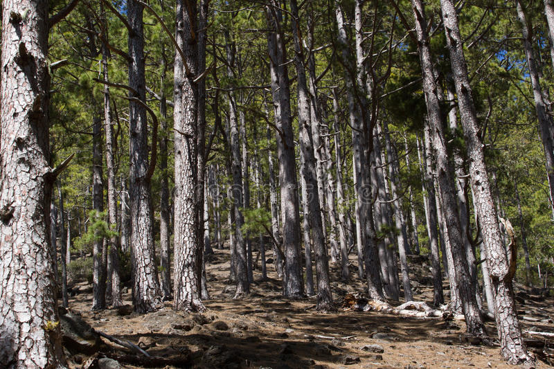 Droga gruntowa w sosnowym lesie, Tenerife, Pinolere, wyspy kanaryjska Pinus Canariensis obrazy royalty free
