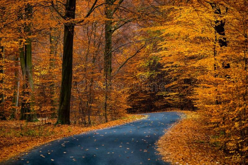 Droga w pięknym złotym bukowym lesie podczas jesieni zdjęcia stock