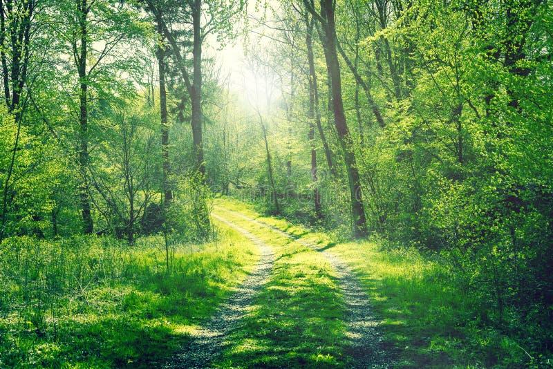 Droga w zielonym lesie z światłem słonecznym obrazy stock
