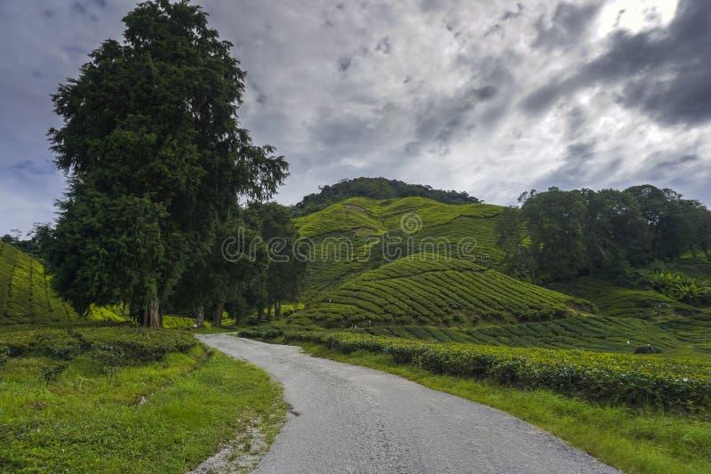 Droga wchodzić do herbacianej plantacji teren z zielonym liściem zakrywał zbocze obraz royalty free